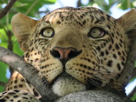 A Leopard Can't Change Its Spots