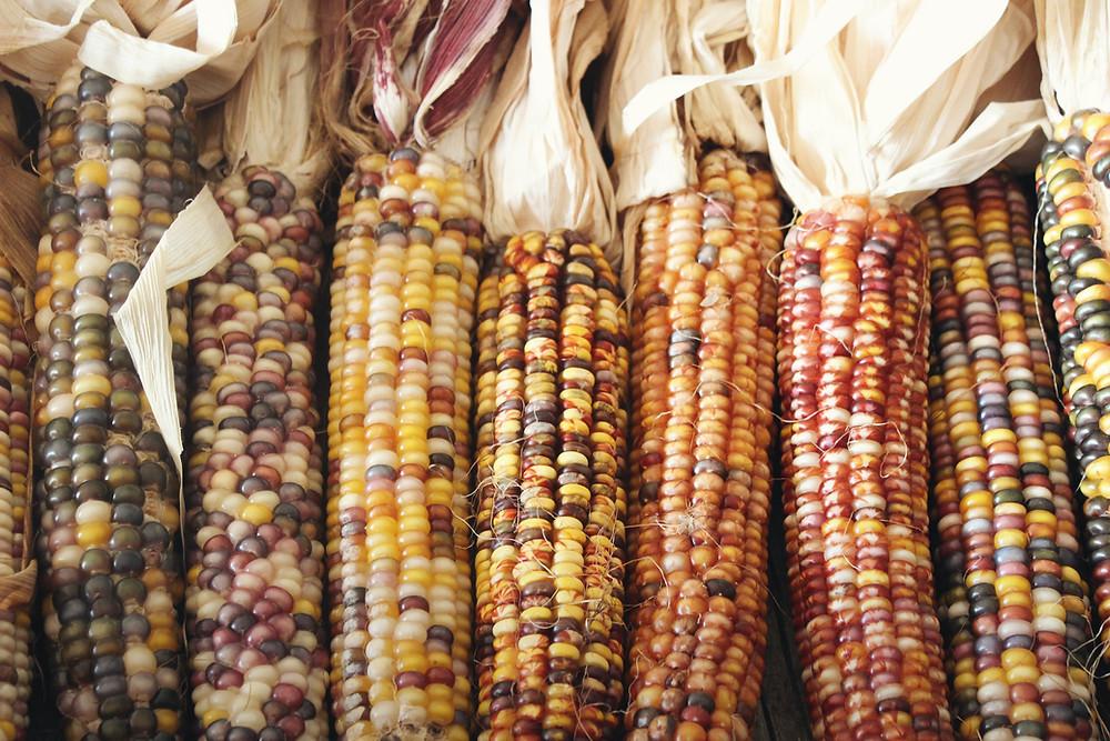 Organic heirloom corn cobs, peeled.