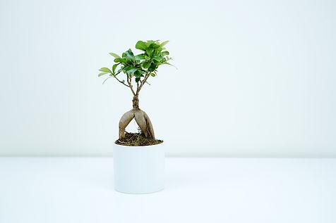 Inomhus Bonsai-träd