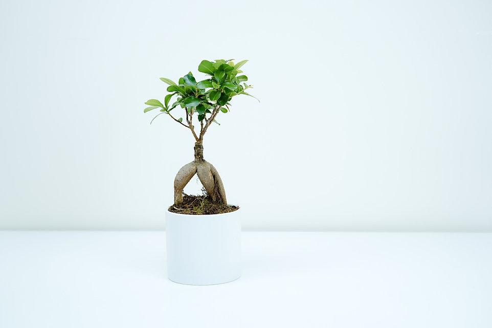 Árbol de los bonsais de interior