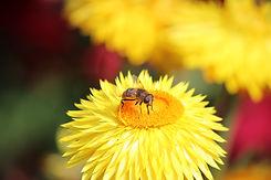 Biene auf einem Gänseblümchen
