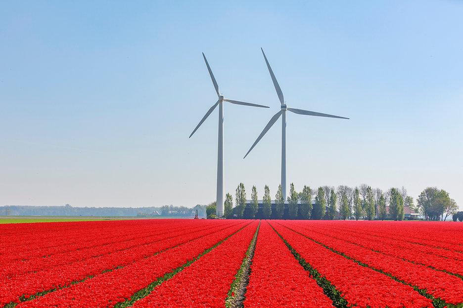Tulpenveld en windmolens