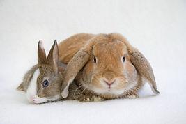 仲良しミニウサギとロップイヤーラビット