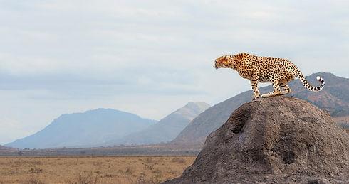 เสือชีต้า
