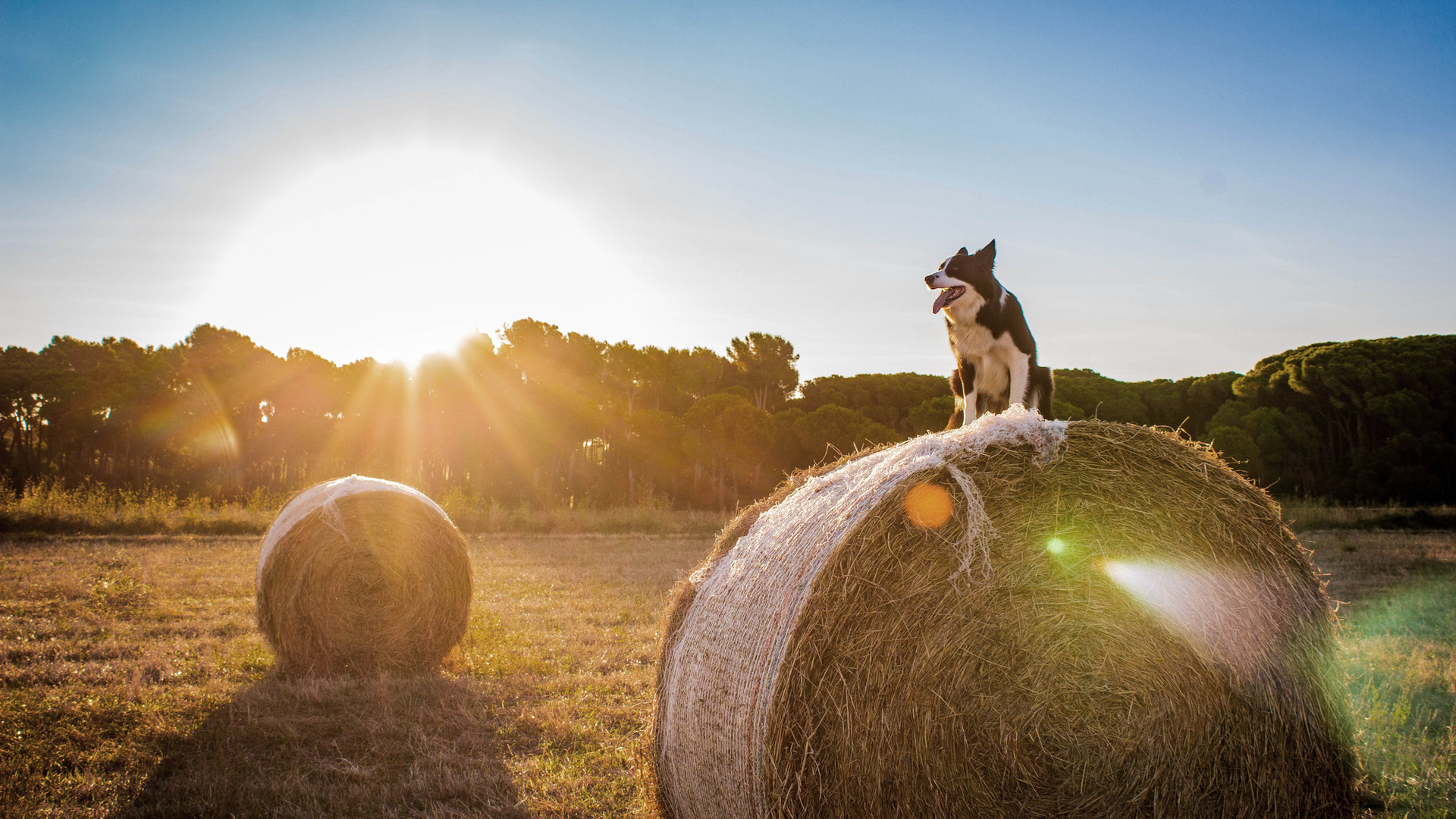 Dog in Farm