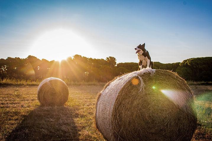 Hund im Bauernhof