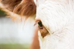 Oeil de vache