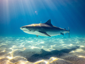 Heightened risk of sharks in waters near Broulee