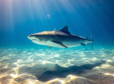 Shark Week Looms, But Don't Panic!