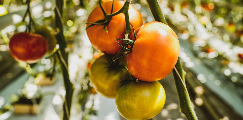 image courtesy of wix.com, tomatoes, tomatoes on vine, orange and green tomatoes