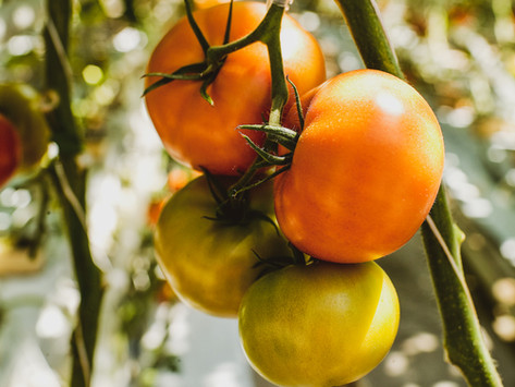 How to force tomatoes to ripen for your next holiday soup