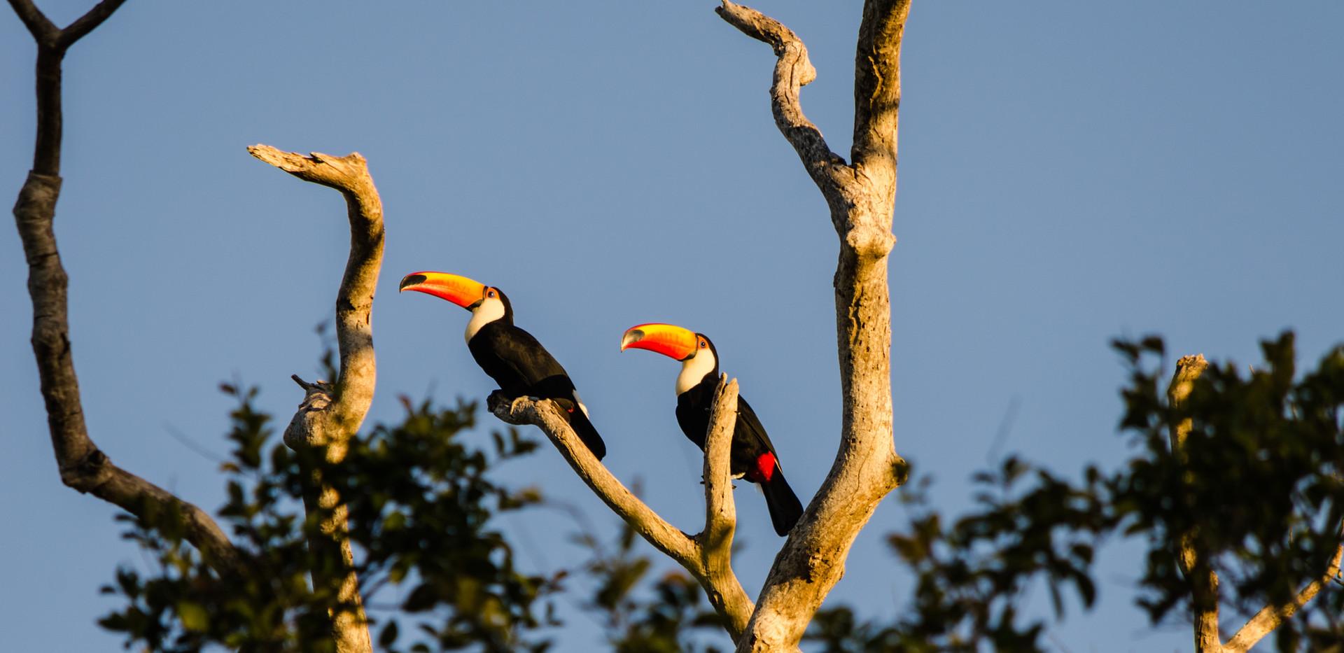 Tucanos na árvore