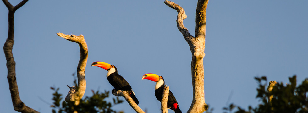 Tucanos bico amarelo