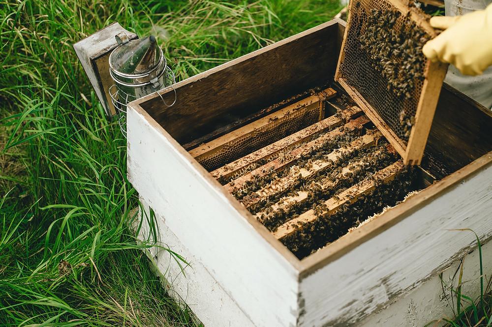 Paljonko mehiläistarhauksen aloittaminen maksaa?