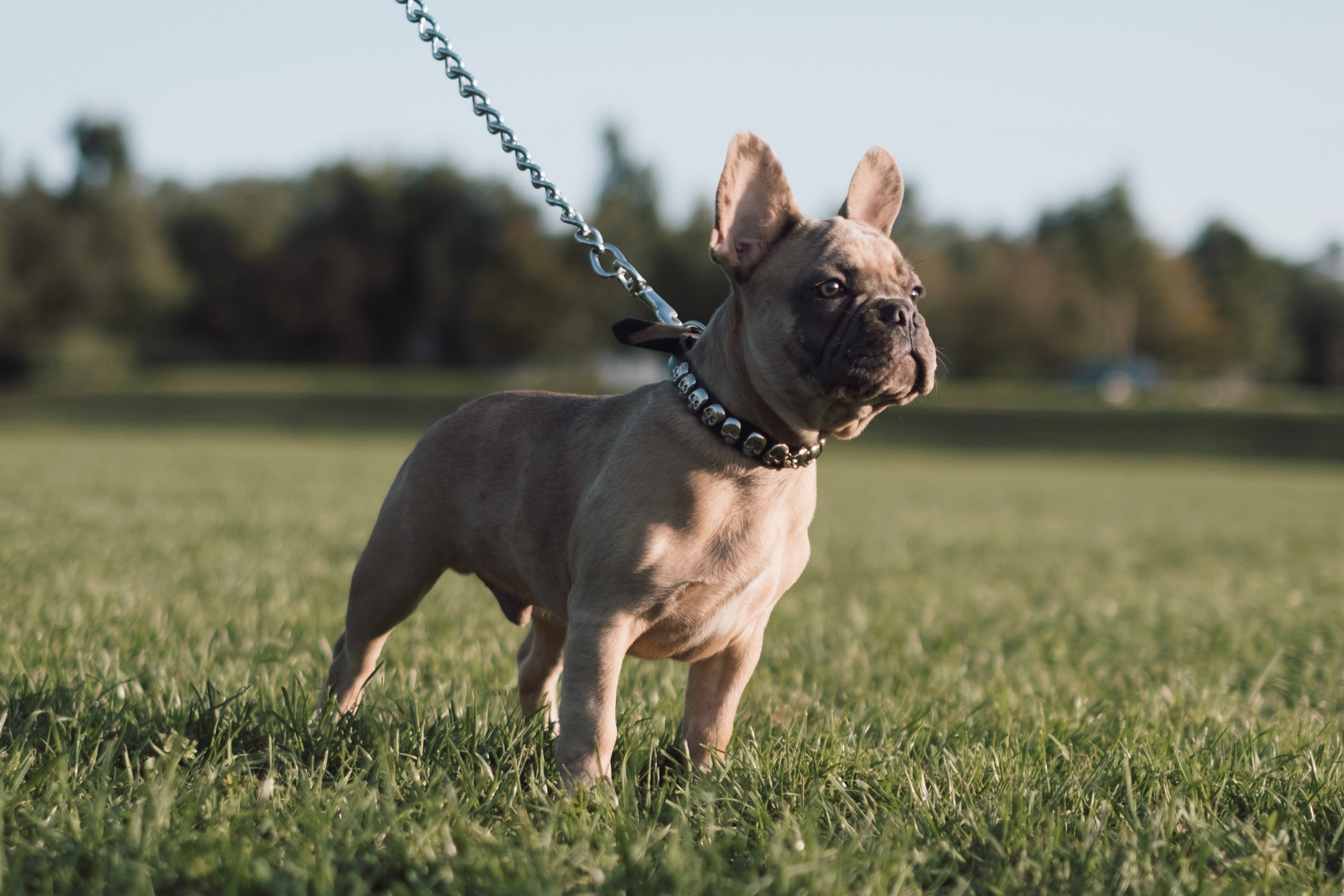 French Bulldog Playdate Event