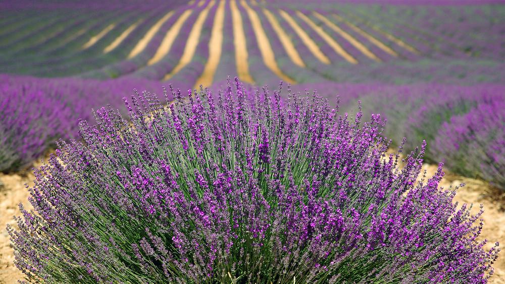 A lavender field in bloom