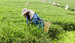 農作業をする女性たち