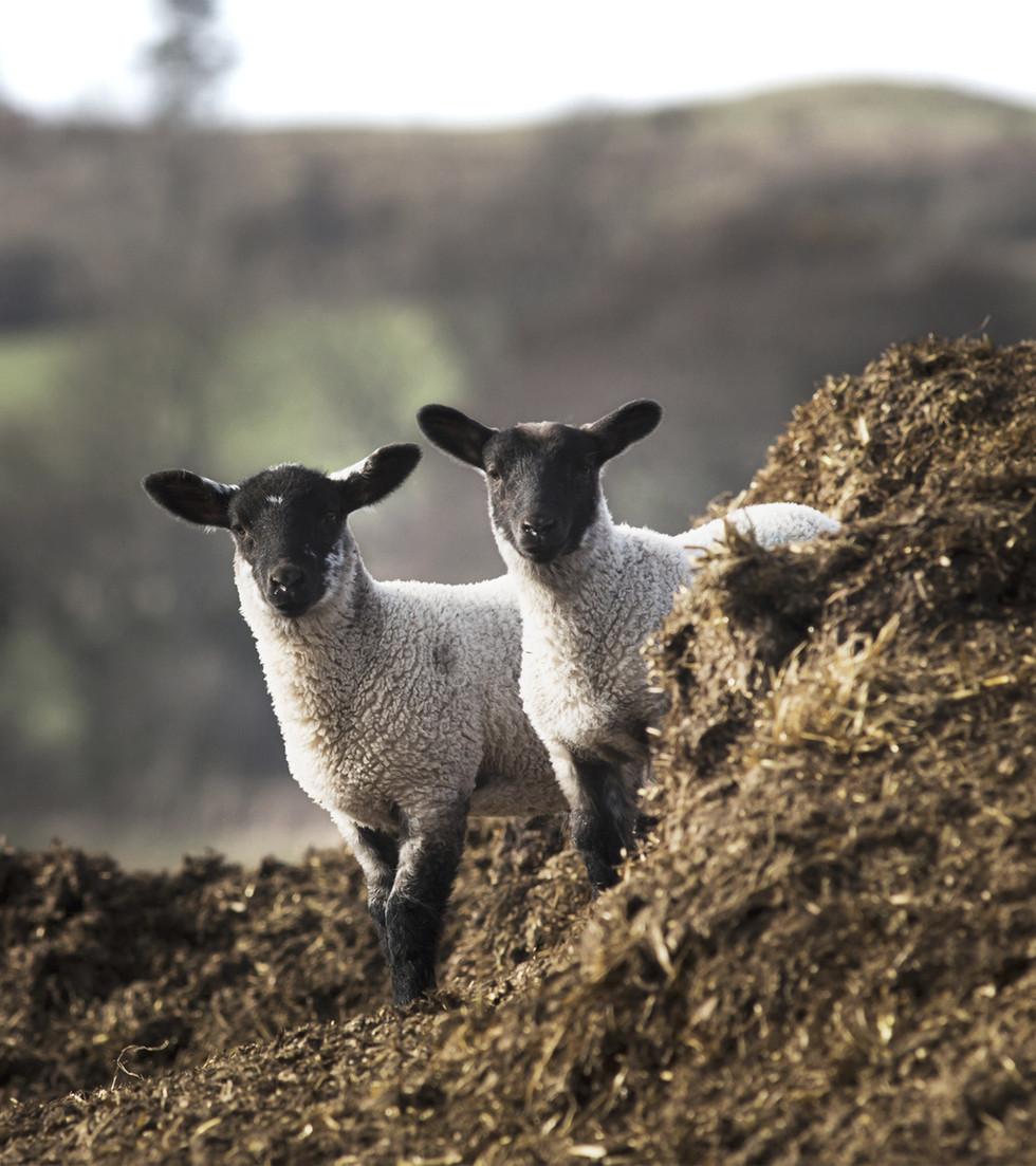 Deux moutons