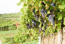 Vignes remplit de grappes bientôt à maturité.