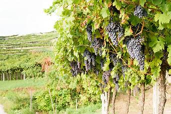 Red Grape Vines