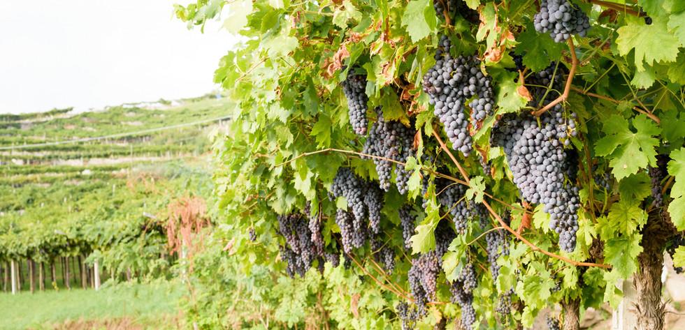 Красные виноградные лозы
