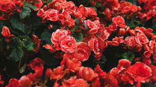 SF27 Red Flowers