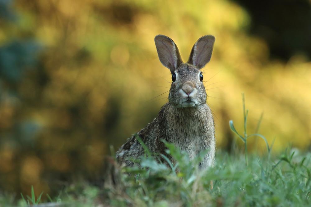 A cottontail rabbit