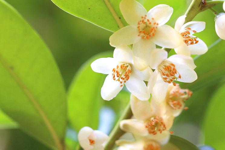 サカキの白い花 神事 お供え