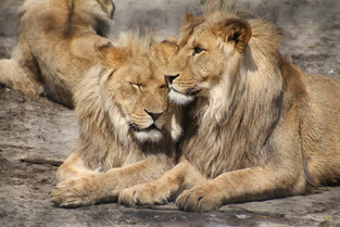 African Lions, their distant Cape lion cousins is not extinct and their desendants are being re-introduced in the Eastern Cape Province.
