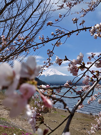 Kirschblüten blühen