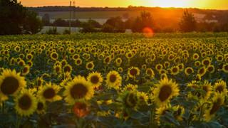 SH18 Sunflower Field