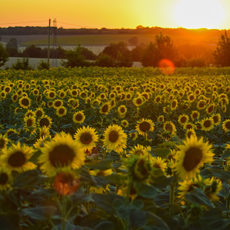 Why we chose the Sunflower as the symbol for our 'Isolation Vacation'