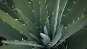All you need to know about Aloe vera