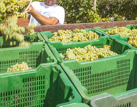 Homme remplissant des caisses de raisins