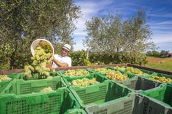Vendanges /Harvest