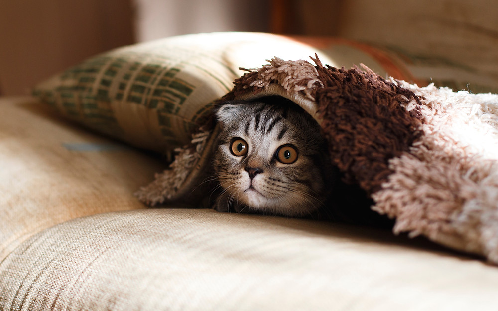 A grey tabby-striped kitten pokes it's head out from under a towel on a sofa. The kitten's ears are laid back and it's eyes are wide.