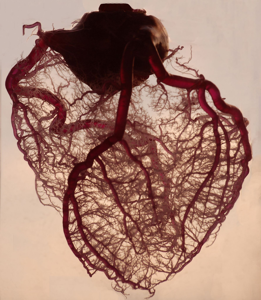 heart with red vessels