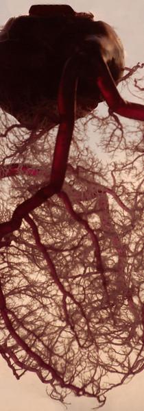 Vasculature of the Heart