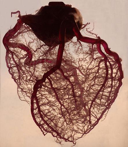 心臓の血管系