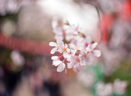 春のカレー「ふわり」の販売延期について