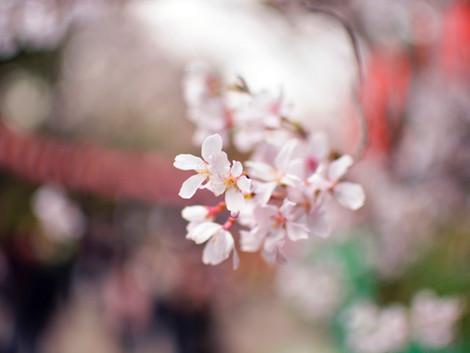 あと何回、人生で桜が見れるだろう?