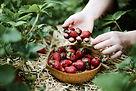 Cueillir des fraises
