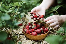 Aardbeien plukken