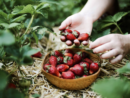 Autocueillette de fraises   Rabais sur activité
