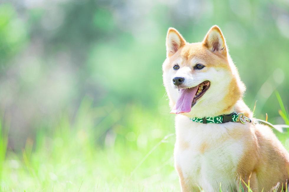 緑背景に柴犬 飼い犬 日本犬 一般的な犬