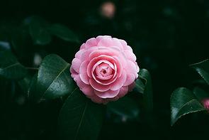 Pink Flower Bloom