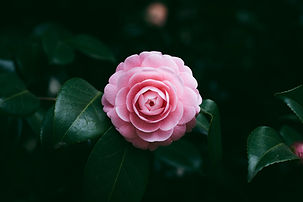 Pink Flower Bloom