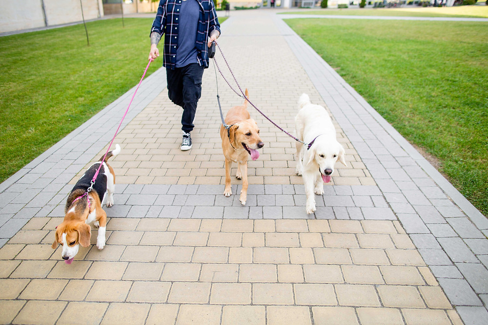 Person walking three dogs on a lead