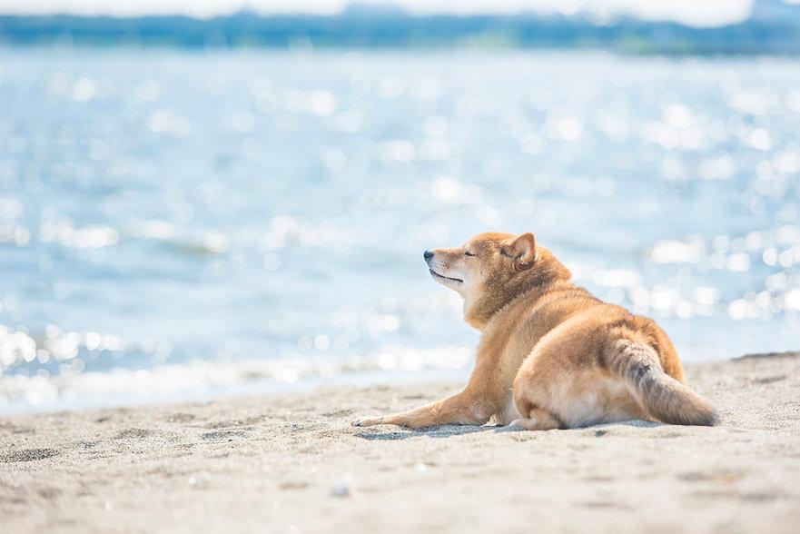 海風を感じる柴犬