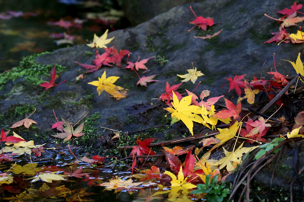 Multi-coloured autumn leaves on a rock and in the water.